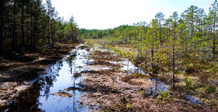 Restoration of bog ecosystem. Wetland ecosystem restoration and conservation area in Soomaa, Estonia Royalty Free Stock Images