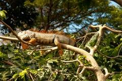 restos Amarillo-rojos de la iguana en una rama Fotografía de archivo