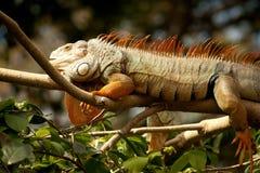 restos Amarillo-rojos de la iguana en una rama Fotos de archivo
