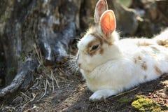 Restos brancos bonitos do coelho Fotografia de Stock