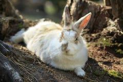 Restos brancos selvagens do coelho Foto de Stock