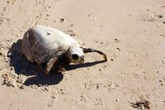 Restos de decaimiento de una tortuga de mar en peligro muerta, EL Golfo, México Imagen de archivo libre de regalías
