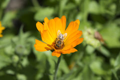 Restos de la abeja en una flor Fotos de archivo libres de regalías