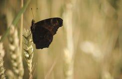 Restos de la mariposa Imagenes de archivo