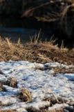 Restos de la nieve en el bosque de la primavera en la puesta del sol El año pasado hierba secada del ` s en abril Fotos de archivo libres de regalías