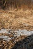 Restos de la nieve en el bosque de la primavera en la puesta del sol El año pasado hierba secada del ` s en abril Fotos de archivo