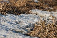 Restos de la nieve en el bosque de la primavera en la puesta del sol El año pasado hierba secada del ` s en abril Fotografía de archivo