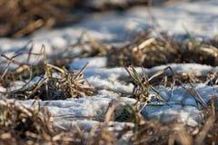 Restos de la nieve en el bosque de la primavera en la puesta del sol El año pasado hierba secada del ` s en abril Foto de archivo