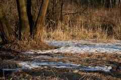 Restos de la nieve en el bosque de la primavera en la puesta del sol El año pasado hierba secada del ` s en abril Imágenes de archivo libres de regalías