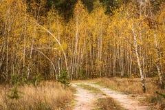 Restos de la trayectoria en la arboleda del abedul del otoño Fotos de archivo libres de regalías