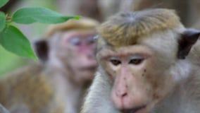 Restos de los monos de Macaque en un pequeño árbol almacen de metraje de vídeo