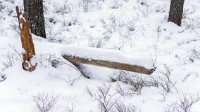 Restos de un tronco de árbol caido cubierto con nieve en un bosque del invierno foto de archivo
