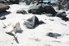 Restos de Whale#4 muerto: Isla de Masirah, Omán Imagenes de archivo