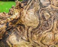 Restos del árbol de haya viejo grande Imágenes de archivo libres de regalías