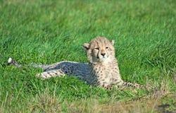 Restos del cachorro del guepardo en la hierba Fotos de archivo