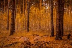 Restos del foso en una arboleda del otoño del abedul Imagen de archivo