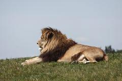 Restos del león foto de archivo