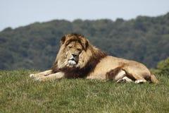 Restos del león Imagenes de archivo