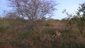 Restos del león debajo de un árbol en la puesta del sol almacen de video