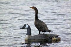 Restos del pájaro de agua sobre cisne Imagen de archivo libre de regalías