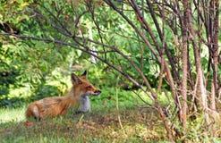 Restos del zorro rojo en el bosque Fotos de archivo