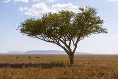 Restos do leopardo em uma árvore Fotos de Stock Royalty Free