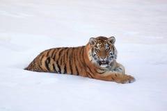 Restos salvajes del tigre siberiano después de cazar Imágenes de archivo libres de regalías