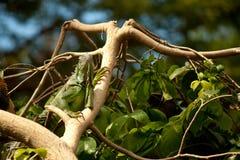 Restos verdes de la iguana en una rama Lagarto Foto de archivo libre de regalías
