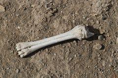 Restos viejos mismos del hueso, huesos fosilizados, fotos de archivo