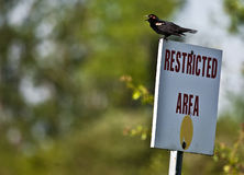 Restricted Area. A red-winged black bird perched on a Restricted Area sign Royalty Free Stock Image