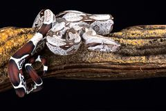 Restringitore del boa constrictor del boa constrictor fotografia stock