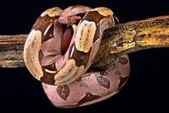 Restringitore del boa constrictor del boa constrictor immagini stock
