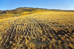 The rests of crops after harvesting Royalty Free Stock Photo