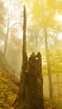 Rests of Old Trunk. In autumnal foggy forest Stock Photography