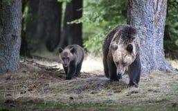 Resultado del cachorro de Big Bear y del oso del bosque en Rumania, La Imagen de archivo libre de regalías