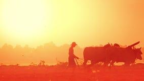Resuma el vídeo borroso con el granjero asiático que ara el campo del arroz en la salida del sol usando búfalos myanmar