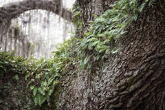 Resurrection fern. Growing on a live oak tree royalty free stock photos