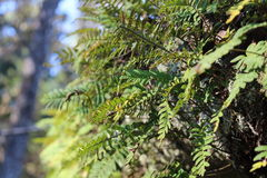 Resurrection ferns. Showing sori, Big Thicket national preserve, Texas Royalty Free Stock Images