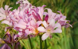 Resurrection Lily - Lycoris squamigera royalty free stock image