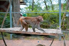 Resus macaque stock photography