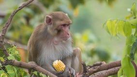 Resusaap die macaque staren Royalty-vrije Stock Afbeeldingen