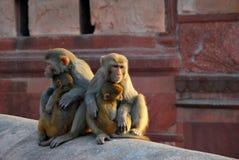 Resusaap die macaque staren Stock Afbeeldingen