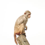 Resusaap macaque in close-up tijdens natuurlijk geïsoleerd gedrag, stock afbeelding
