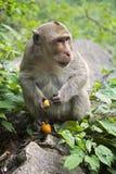 Resusaap Macaque de bekendste species van Oude Wereldapen Stock Fotografie
