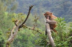 Resusaap Macaque, het Park van het Land van Kam Shan, Hongkong stock foto