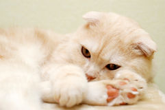 reszta włochate białego kota Obraz Stock