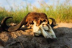 Resztki spotlighted Afrykańskim słońcem Bawolia czaszka kłaść w obszarach trawiastych obraz stock