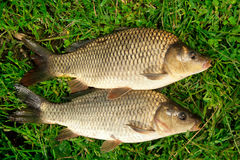 Retén de la carpa de los pescados de agua dulce en hierba Foto de archivo