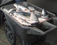 Retén de los salmones imagenes de archivo