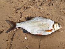 Retén de pesca Bjoerkna de Blicca de los pescados del río imagen de archivo